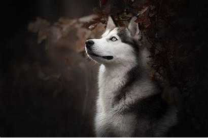 Husky Dog Siberian Wallpapers 4k Breed Siberiano