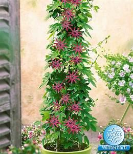 Blühende Sträucher Für Sonnigen Standort : winterharte passionsblume ladybirds dream baldur garten ~ Watch28wear.com Haus und Dekorationen