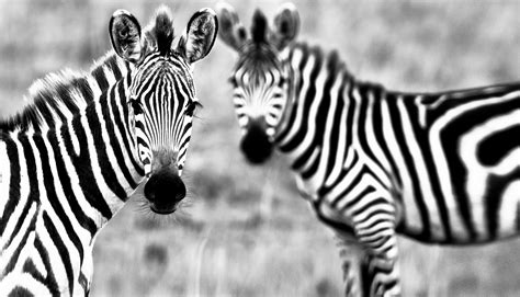 Animal Wallpaper Black And White - wallpaper zebra black white animals
