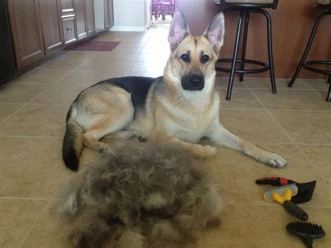 german shed 15 things you should never say to a german shepherd owner