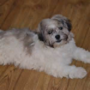 non shedding hypoallergenic dogs shih tzu hypoallergenic breeds picture