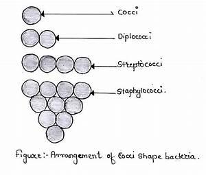 Arrangement Of Cocci Shape Bacteria