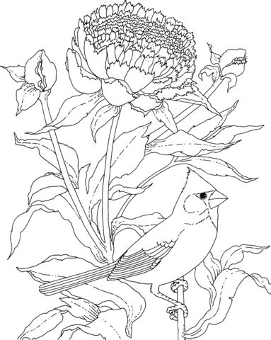 cardinal  peony indiana flower  bird coloring page supercoloringcom