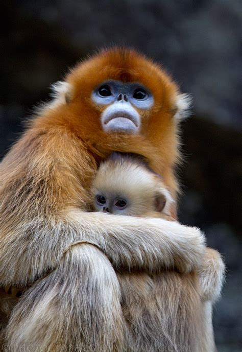 Golden Snubnosed Monkey Wikipedia