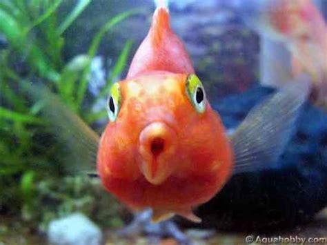 blood parrot fish ae3sar pal hybrid animals blood parrot cichlid