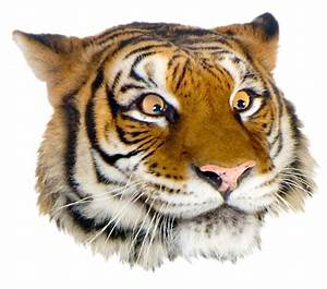 The gallery for --> Tiger Face Png