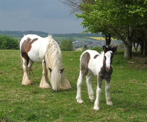 midget horse gypsy stallion vannercentral