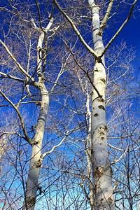 Image Libre  Arbre  Branche  Bois  Bouleau  Paysage  Hiver   U00e9corce  Nature