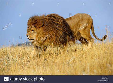 Barbary Lion (panthera Leo), Extinct In Wild Captive