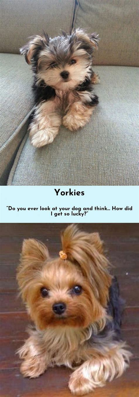 keesha yorkshire terrier welpe puppyspot boo family