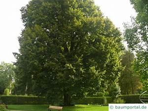 Linde Baum Steckbrief : sommer linde tilia platyphyllos ~ Orissabook.com Haus und Dekorationen