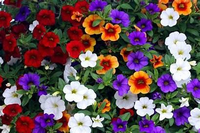 Calibrachoa Bells Million Care Plant Growing Plants