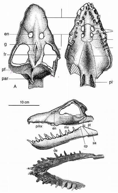 Plesiosaur Plesiosaurus Caroli Andrews Jurassic Nares Internal