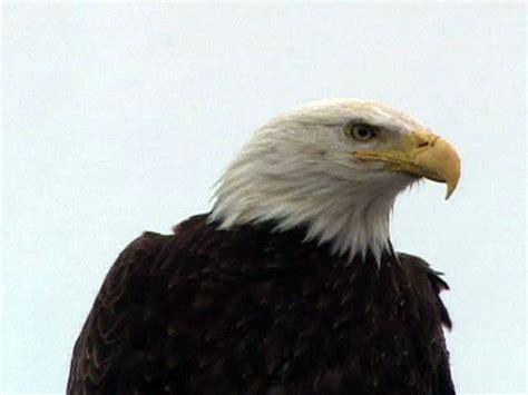 northwest eagles