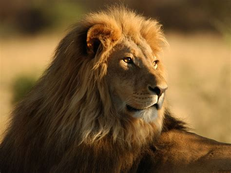wallpapers male lion wallpapers