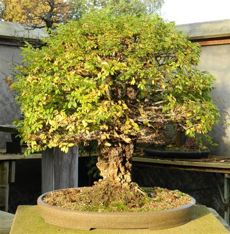 chinesische ulme bonsai bonsai shopping eu chinesische ulme