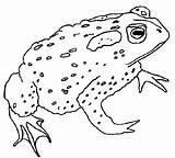 Coloring Frog Pages Frogs Coloringpages1001 Animals Toads sketch template