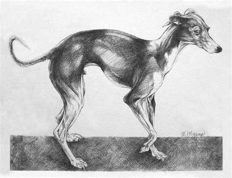 foto de Italian Greyhound Drawing by Derrick Higgins