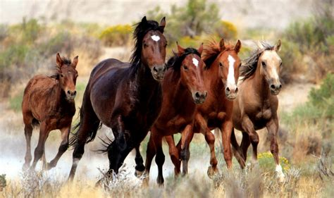 horses native wild american americas breeds ii wildlife