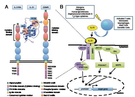 Expression Inflammatory Cells Preferentially
