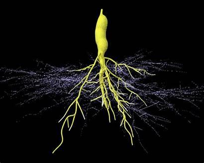 Fungi Soil Bacteria Root Mycorrhizal Arbuscular Study