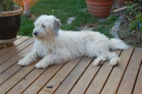 tibet terrier liebhaberzucht indrugopa tibet terrier