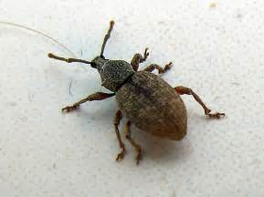 House Weevils Bugs