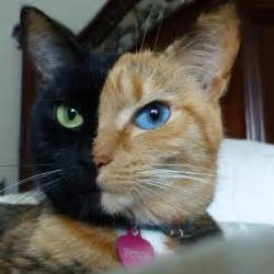 venus the two faced cat venus the amazing two faced chimera cat kats cats