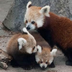 Red panda pile.