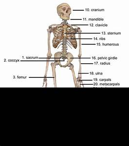 Skeletal System Anterior View Answers