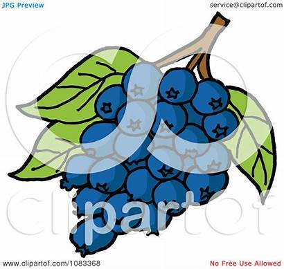 Blueberries Bunch Clipart Leaves Illustration Lafftoon Royalty