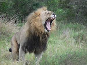 Volunteer In South Africa And Work With Rhinos  Leopards  Elephants And Lions  Volunteer With