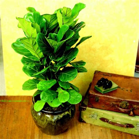 Zimmerpflanze Hoch by Exotische Zimmerpflanzen Kaufen Table Basse Relevable