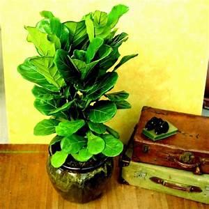 Gummibaum Verliert Blätter : pflegeleichte zimmerpflanzen sunny7 ~ Lizthompson.info Haus und Dekorationen