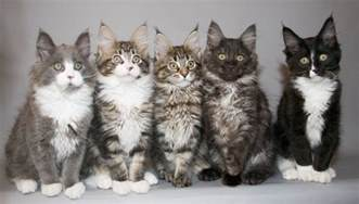 maine coon cats for maine coon cat information