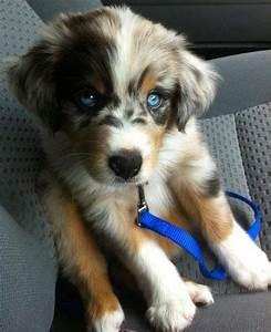 pictures of australian shepherd puppies | Super Cute ...