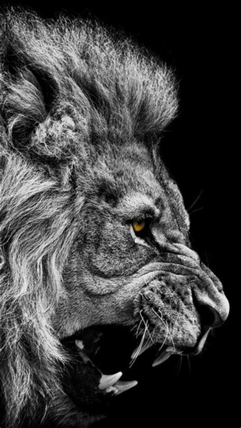 black  white angry  king mountain lion wallpaper