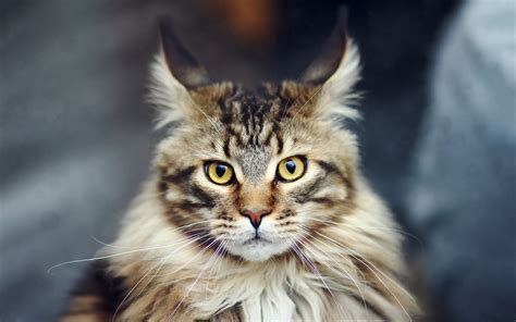 Maine Coon Cat  Purrfect Cat Breeds