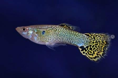guppy cosmic aquarium pvt