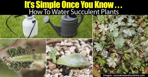how to water succulents it s simple once you know how to water succulent plants