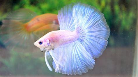 albino betta fish picture    white pastel halfmoon