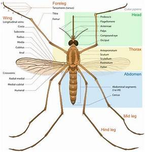 This Mosquito Anatomy Diagram Labels The Different Parts
