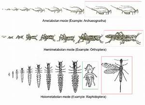 The Main Types Of Insect Metamorphosis  Ametabolan