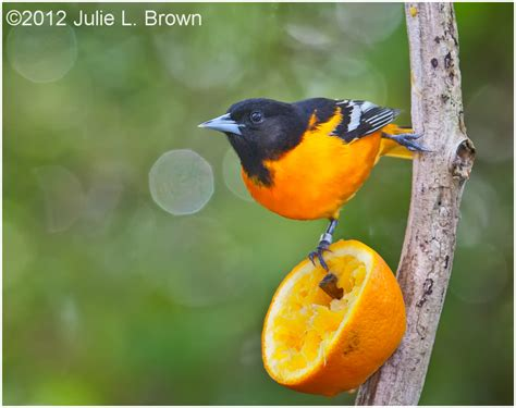 baltimore oriole adult male eating an orange 1 3 animal