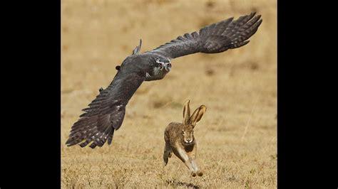 epic goshaw hunting jack rabbit attack moments  hd