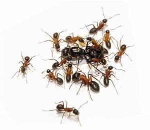 Was Essen Ameisen : kaufen bestellen ameisen ameisenfarm ~ Lizthompson.info Haus und Dekorationen