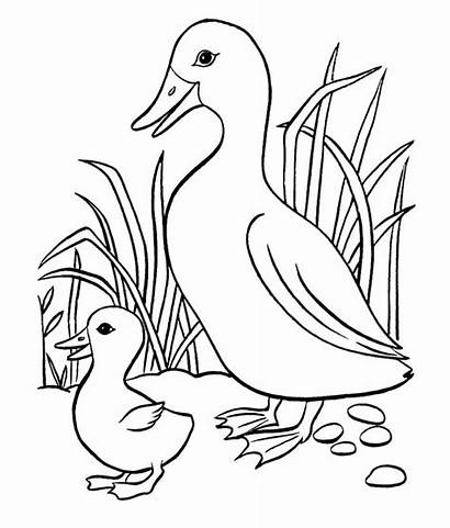 Duck Coloring Template Mother Templates Animal Colouring
