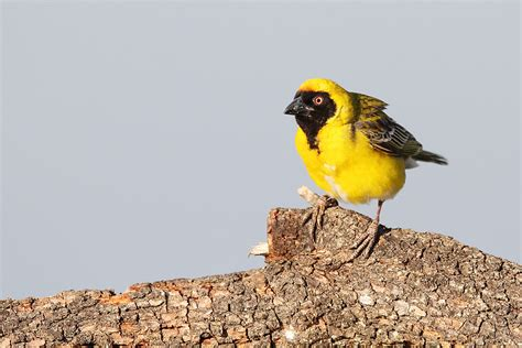 masked weaver bird southern masked weaver bird wildlife photography by richard and eileen flack