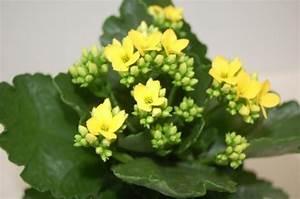 Pflegeleichte Zimmerpflanzen Mit Blüten : das k thchen aus madagaskar firmenpresse ~ Sanjose-hotels-ca.com Haus und Dekorationen