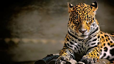 Glowing Animal Wallpaper - leopard 4k glowing hd animals 4k wallpapers images